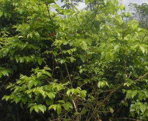 pohon gambir